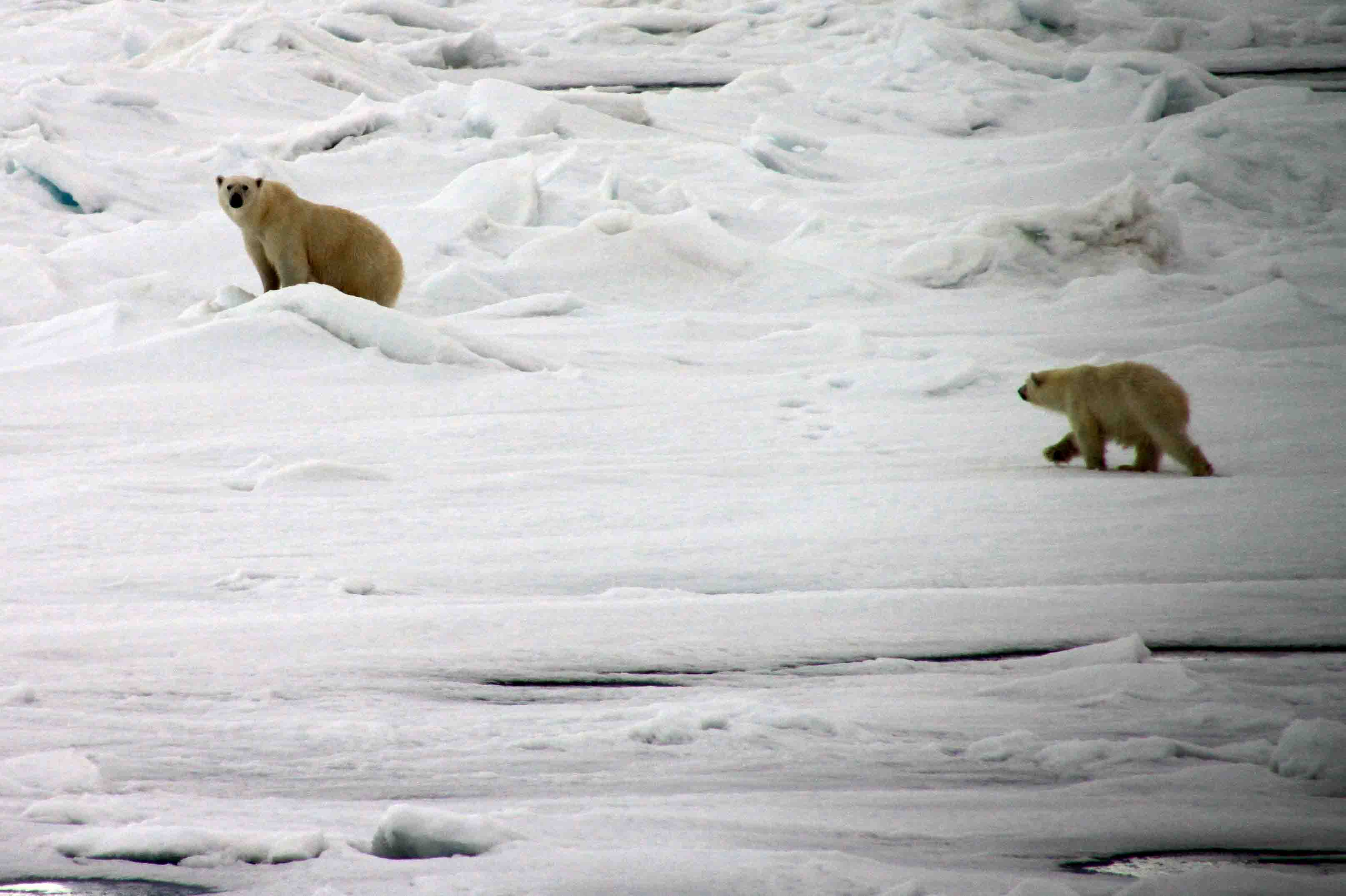 polar bear mama and cub returning