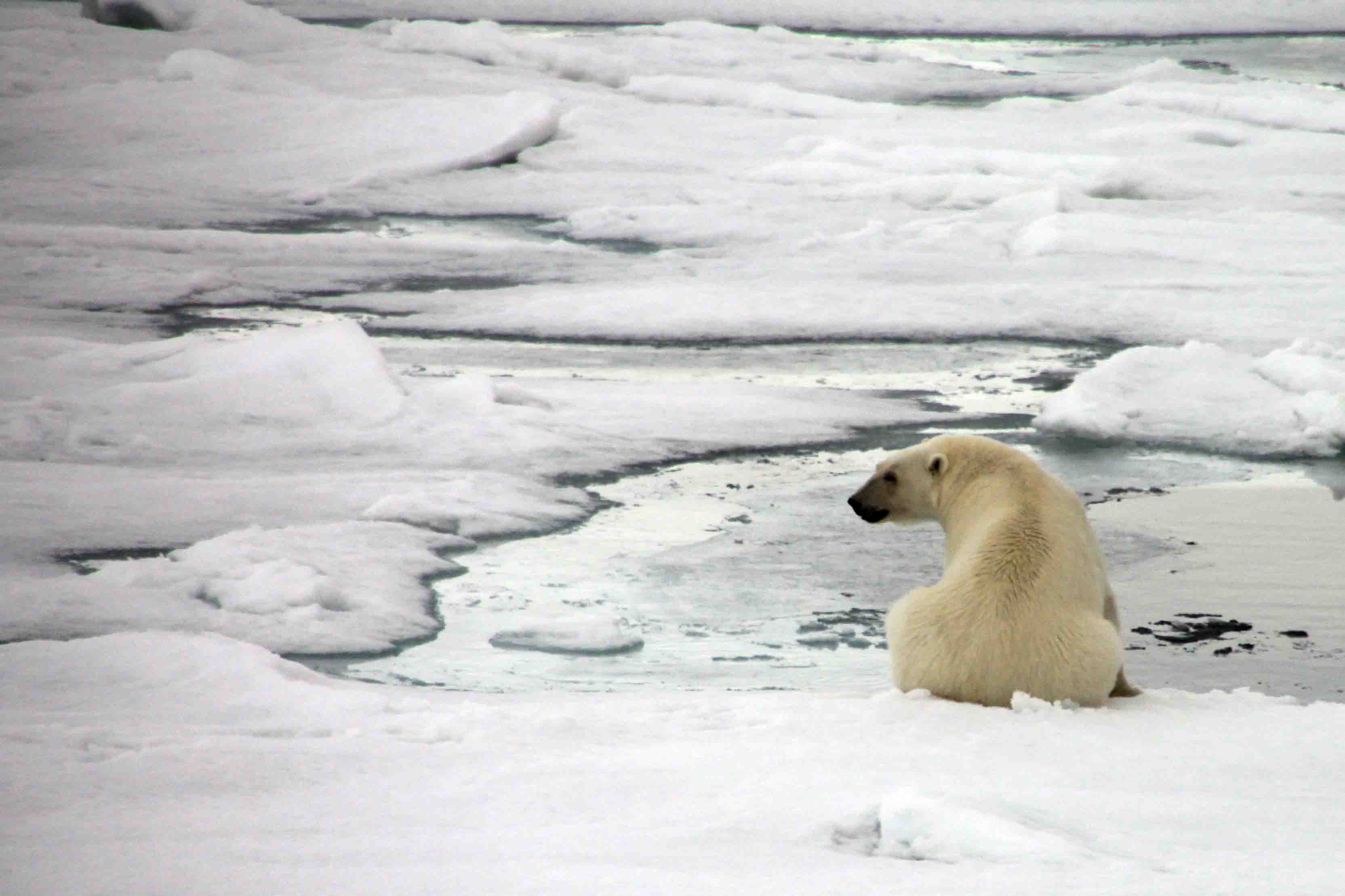polar bear sitting by water hole