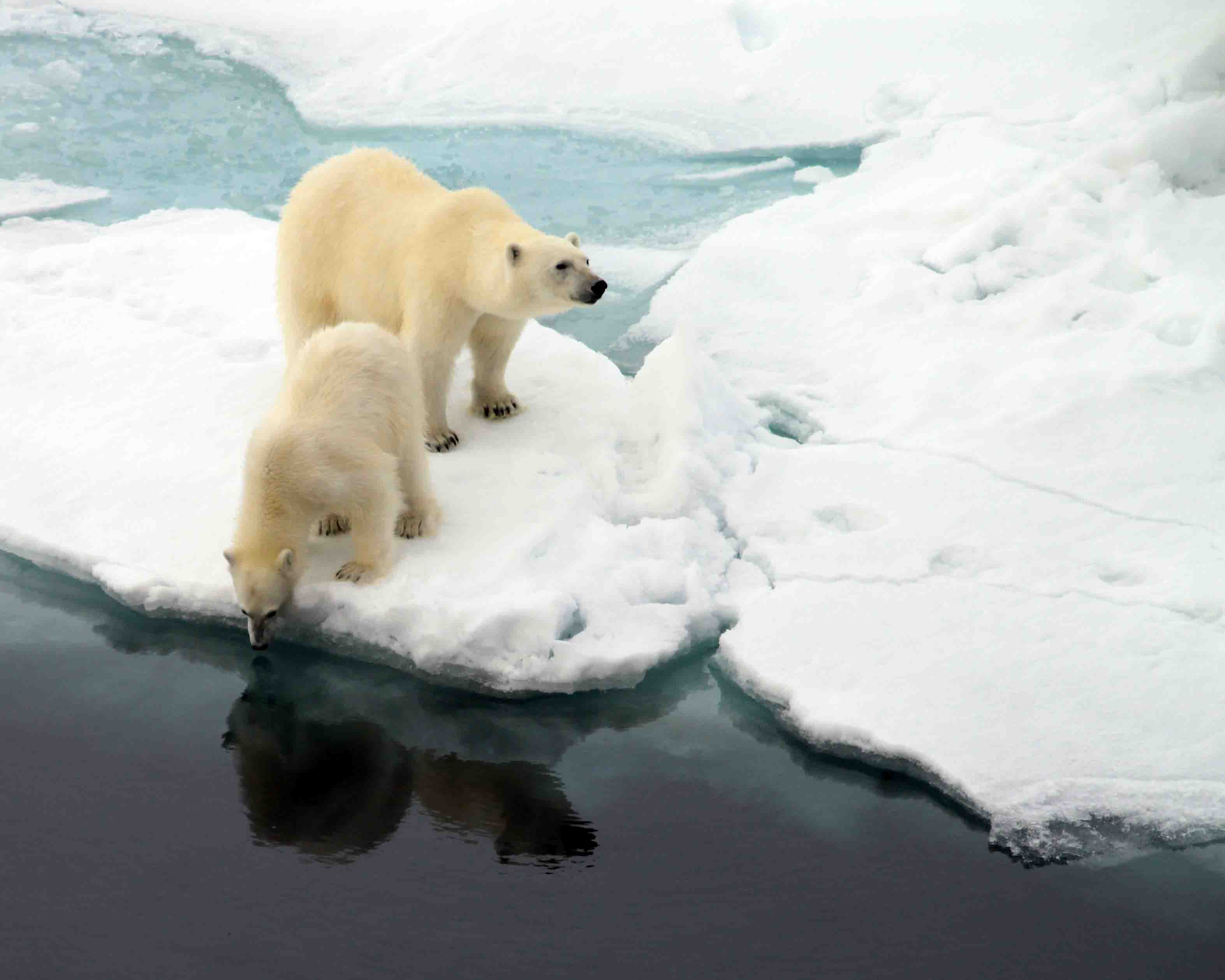 polar bear mama and cub checking out its reflection