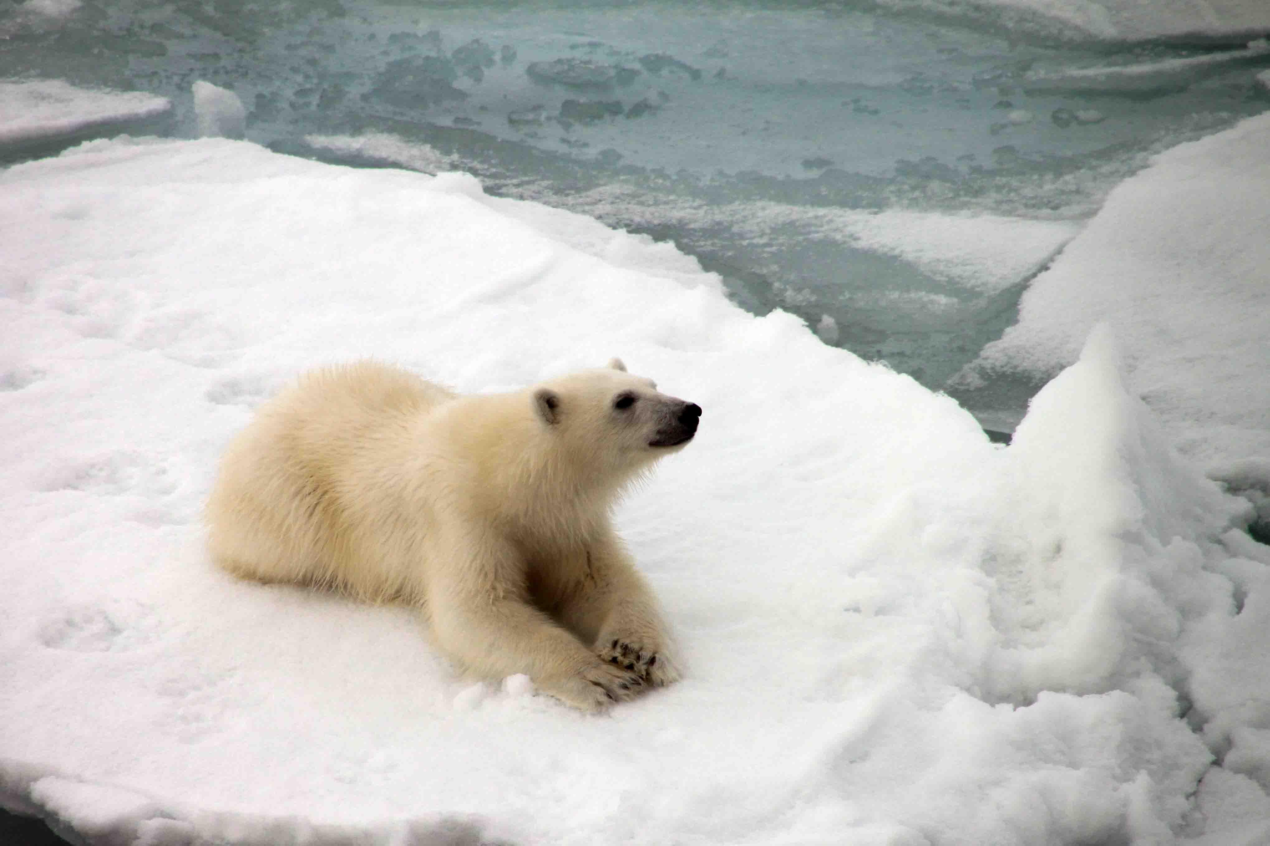 polar bear cub resting