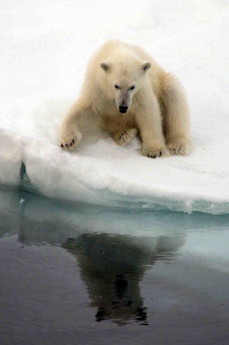 polar bear cub checking out its reflection
