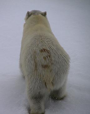 IMG_9412 polarbear adventuresofacouchsurfer