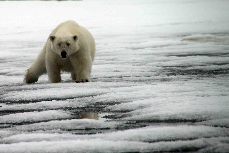 polar bear spreading his weight across the ice