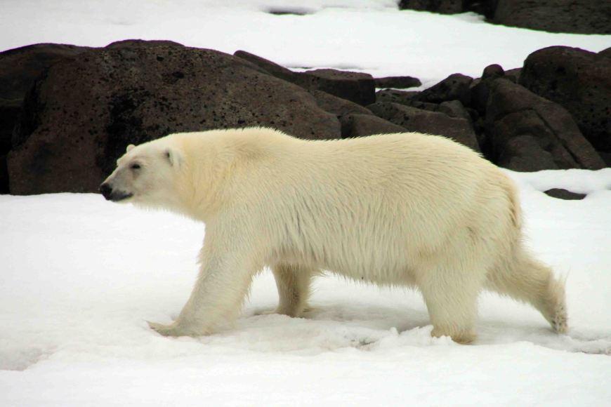polar bear trotting along shore