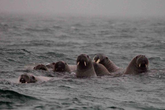 IMG_9549 walrus