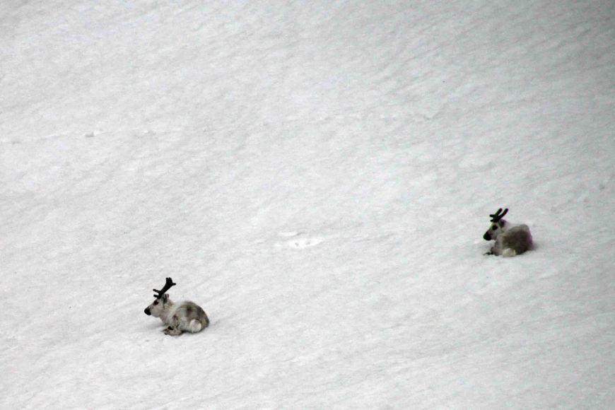 reindeer on Faksevagen