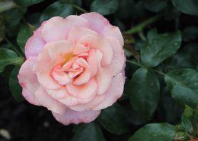 IMG_0452 rose