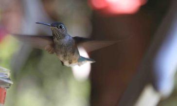 IMG_0481 hummingbird