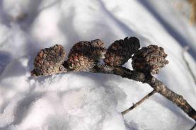 img_9557-pine-cones