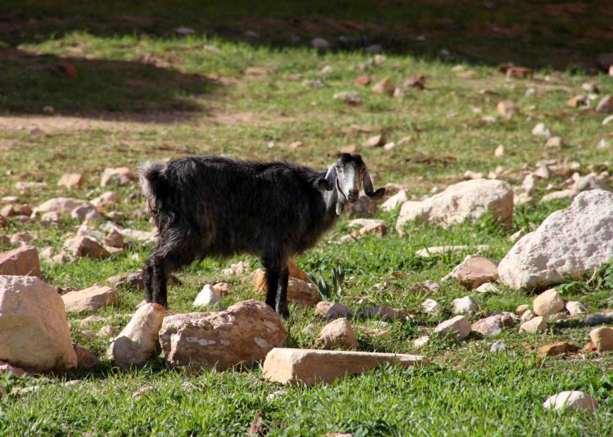 goat on the way to petra