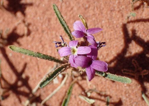 flower in the wadi rum desert
