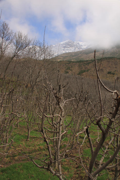 apples trees in the high atlas mountains