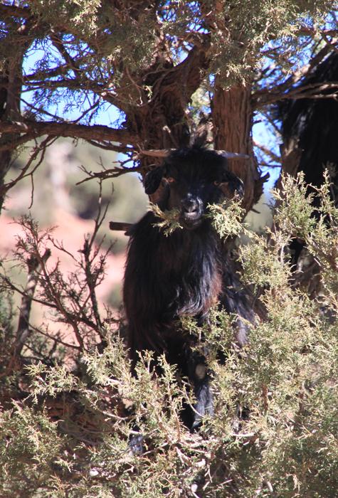 goat in tree on tizi oudite trail
