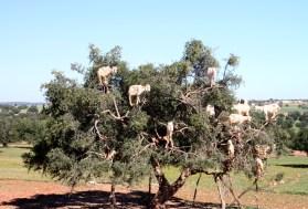 IMG_2851-goat