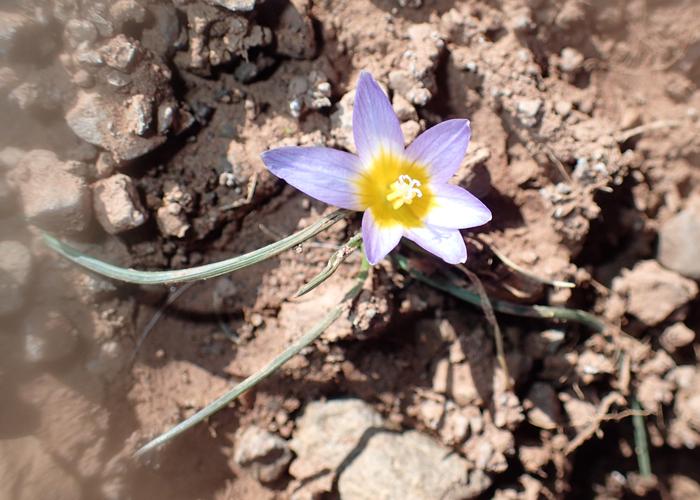 flower on tizi oudite trail