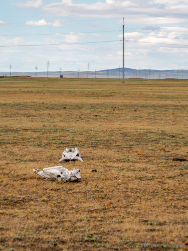 animal skulls on the way to excavation site in mongolia