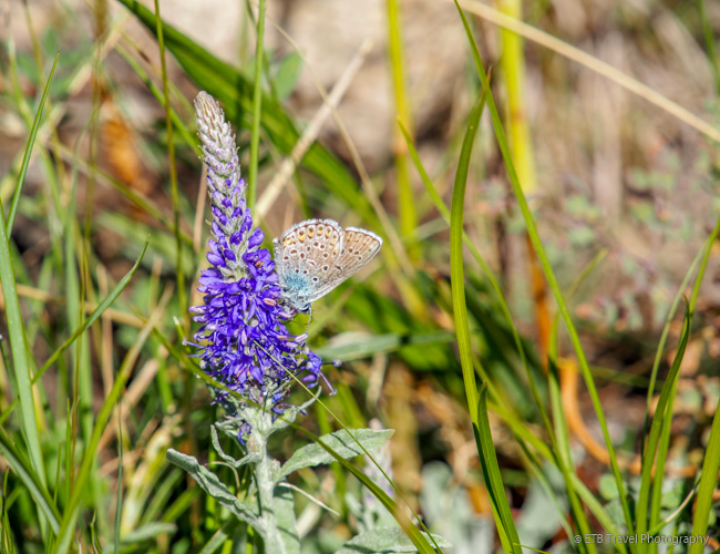 purple flower and butterfly on the mongolian steppe