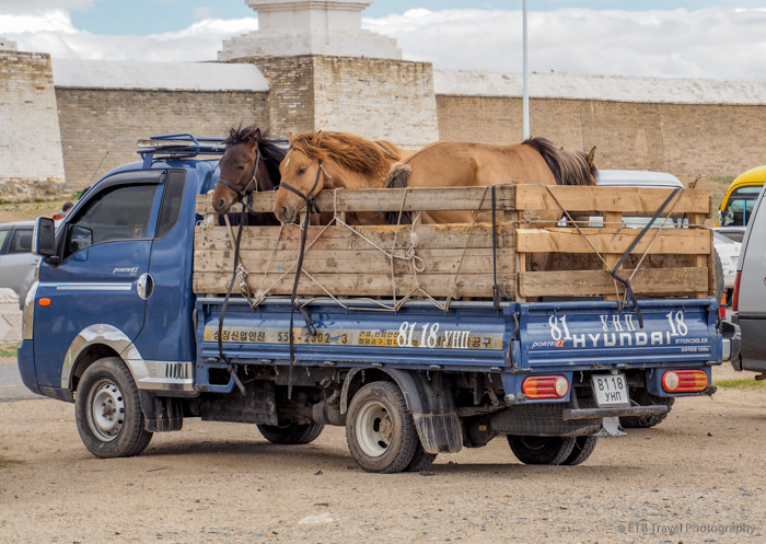 pick up truck with horses in bed in Mongolia