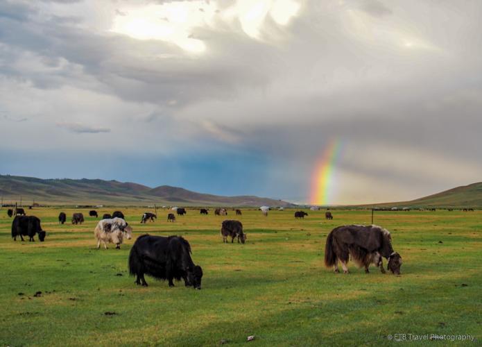 yaks beneath rainbow in mongolia