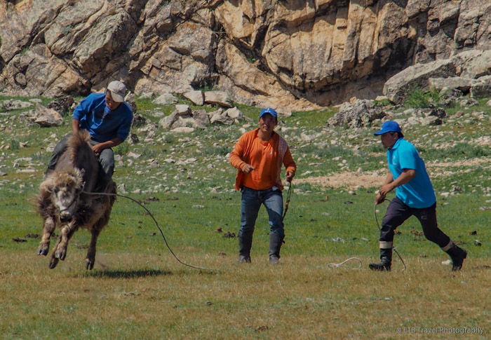 mongolian cowboy riding yak