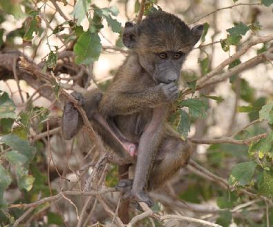 395_IMG_1191_baby_baboon etb