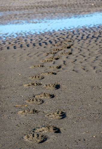 bear tracks in the sand