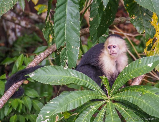 capuchin monkey on lake gatun in panama city