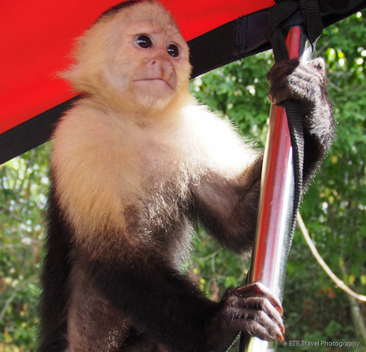 capuchin monkey on lake gatun in panama city