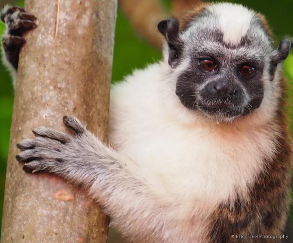 tamarin monkey on Lake Gatun in Panama City
