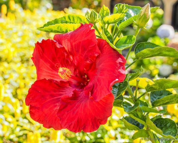 hibiscus is garden in boquete