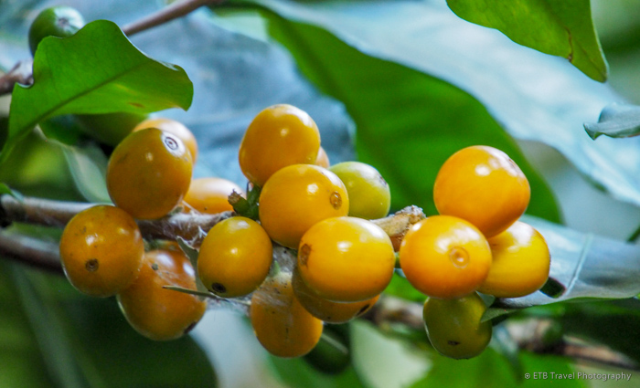 coffee beans in boquete