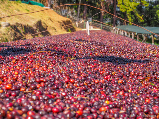 coffee beans drying in boquete