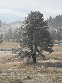 frost covered tree at NCAR