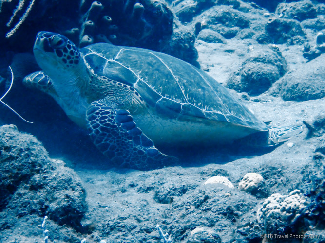 Turtle in saba