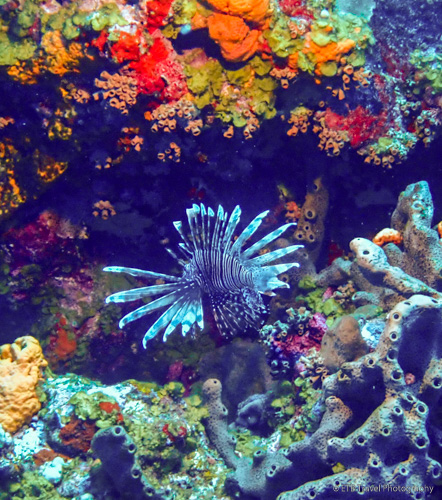 lionfish in Saba