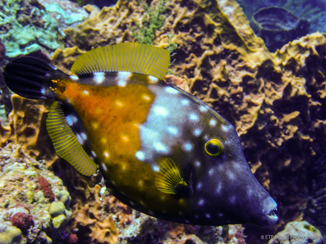 filefish in Saba