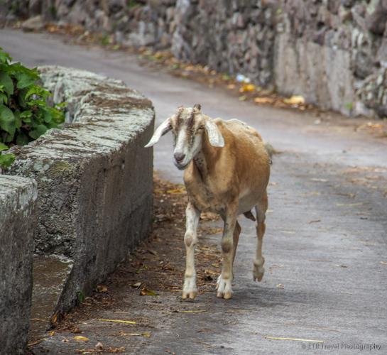 goat trotting down road in Saba