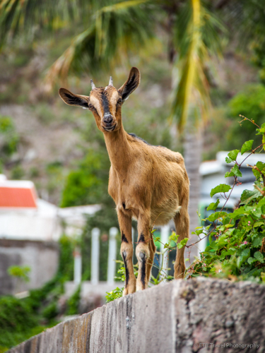 goat at a house in Saba