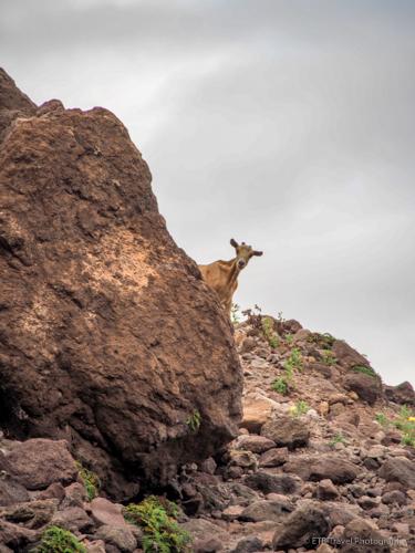 wild goat in Saba