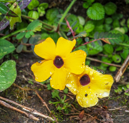 wildflower in Saba