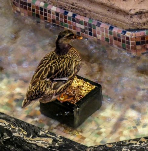 duck in fountain