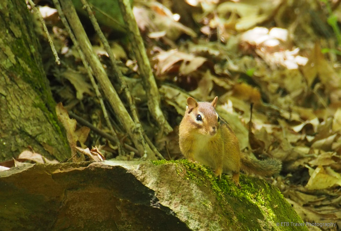 chipmunk at Brown County State Park