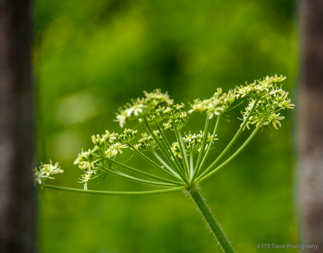 white wildflowers in uzerche