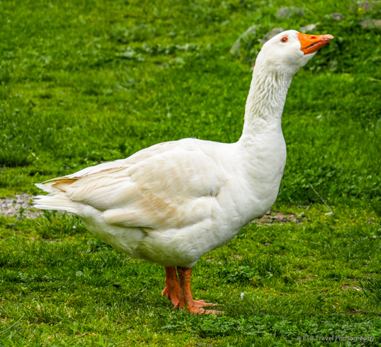 gilbert the mean goose