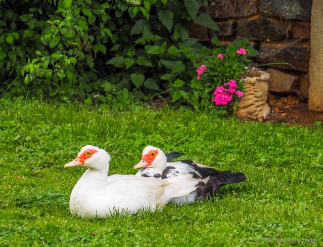 ducks, daphne and dorene