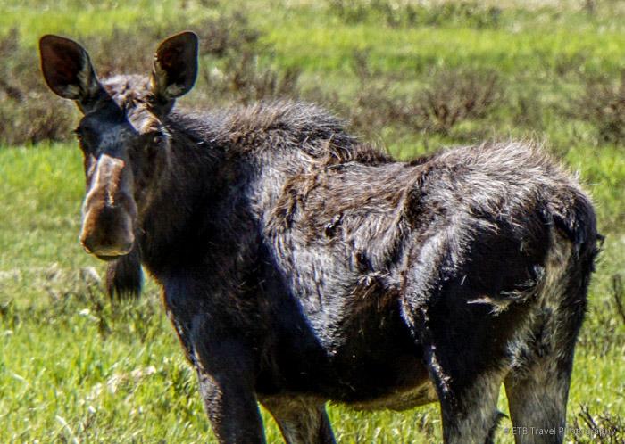 mama moose near grand lake
