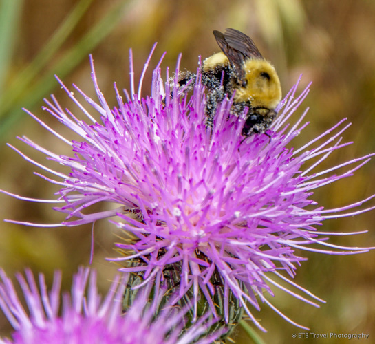 purple thistle with bee