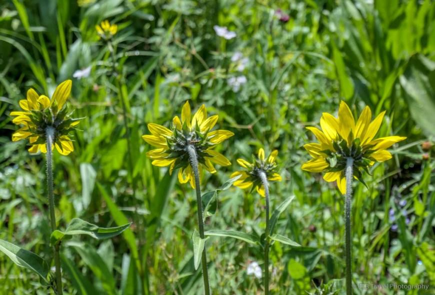 wildflowers on the Sneffels Traverse