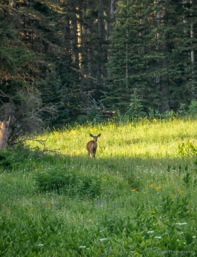 deer on the Sneffels Traverse
