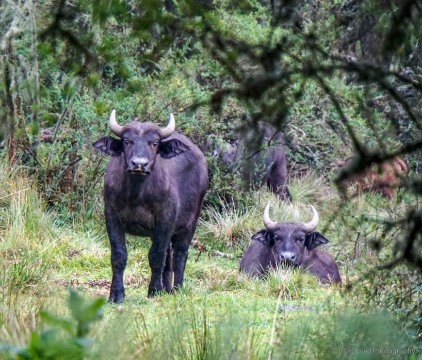 buffalo in rwanda